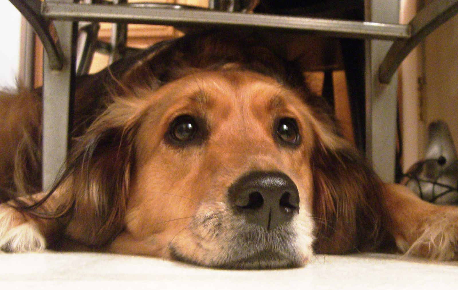 Waiting under the table for crumbs